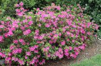 Pink azalea's