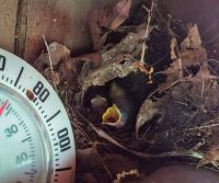Newly Hatched House Wrens in Tennessee
