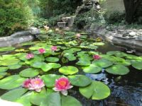 July pond blooms