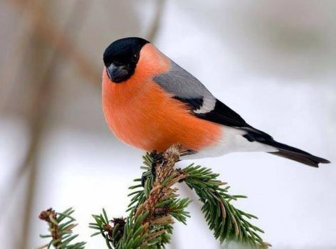 Eurassian Bullfinch