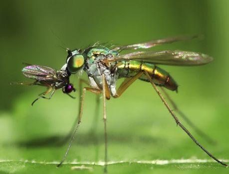Long-legged Fly dining on a small Fly