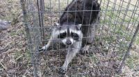 Yesterday AM, raccoon in the trap! Fear not, he was too cute and was released