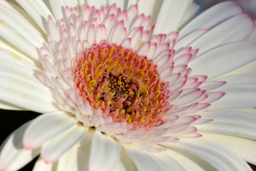 Gerbera_bloom