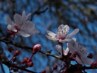 Asian cherry blossoms, #2