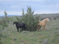 Wild Horse Range SS Oregon. May 2015