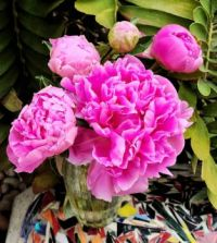 Dark Pink Peony Cluster