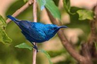 Purple Sunbird by Shishir Saksena