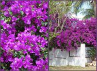 Bougainvillea ....