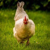Friends' friendly chicken