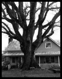 Grandma's Oak