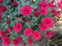 Chryzantémy (Chrysanthemum)