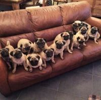 How many pugs can you count?