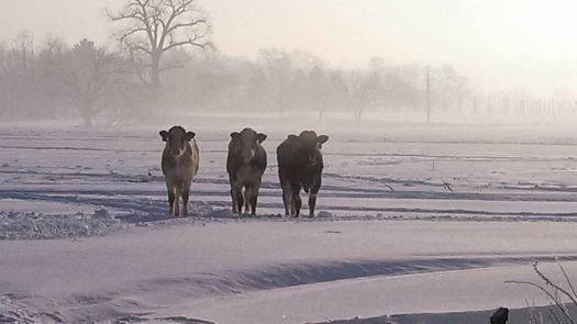 Cows in the Mist (or Bad Fences)