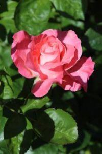 A rose.