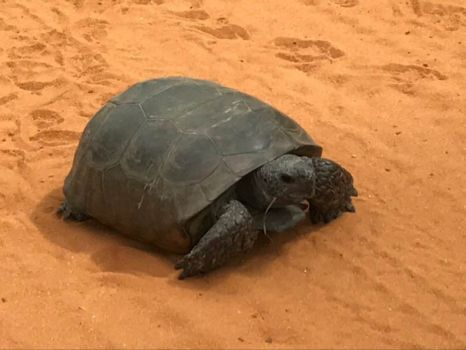 Gopher Turtle in Apalachicola National Forest
