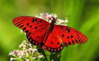 3  ~  'Papillon Rouge' (2/2)