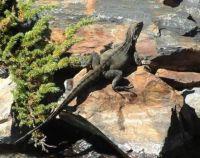 Lizard Study In Browns