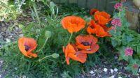 Large orange poppies...