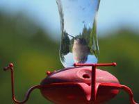 Hummingbird under glass