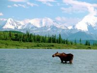 The Moose and the Mountain, Denali National Park, Alaska