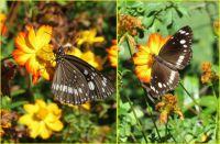 Australian Crow butterfly...