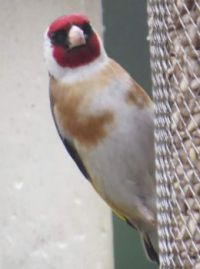 Goldfinch looking like it's wearing a mask over it's eyes