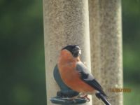 Male Bullfinch eating again.