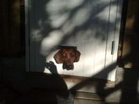 Cat-flap with Otto the dog