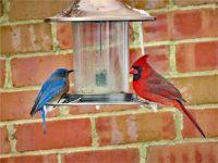 Blue Bird & Cardinal
