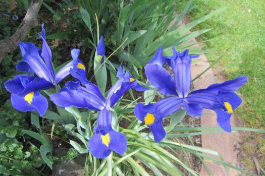 Brilliant Dutch Irises.