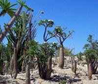 San Diego Zoo - Madagascar Palm