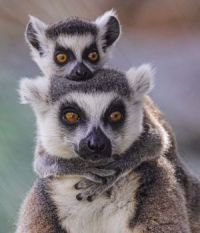 lovely, lively Lemurs