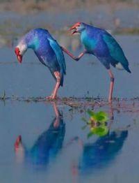 Purple Swan Hen