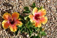 baby hibiscus