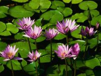 water lillies by Morgy
