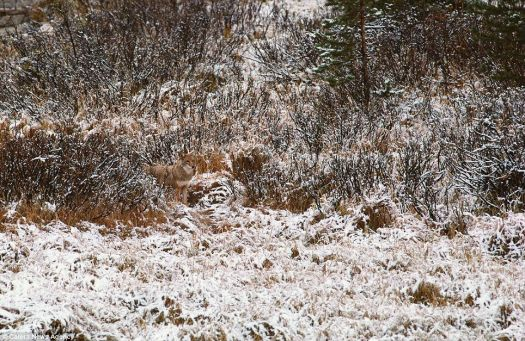 There's a coyote in this picture...see him?