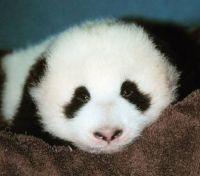 Baby Panda up close