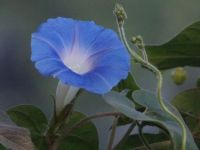 Morning Glory 'Heavenly Blue'