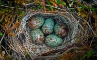 Eggs in Ground nest in the Arctic National Wildlife Refuge, Alaska