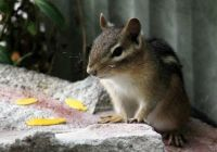 Visiting chipmunk