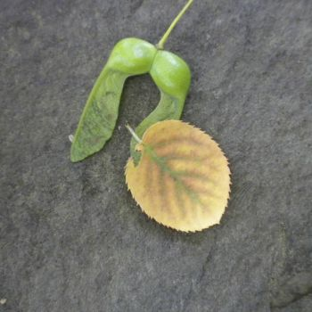 Leaf, double samara and fossil