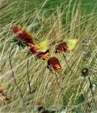 butterflies refueling