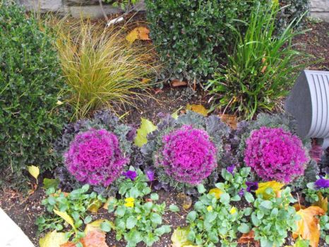 Pretty ornamental cabbages