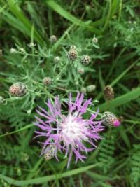 spotted knapweed--more challenging