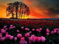 TulipsJigsaw