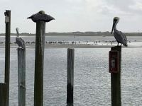 pelicans at ponce