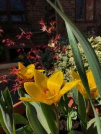 Magic Tulip 108