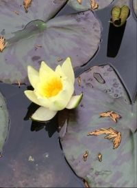 Just a lemon water lily