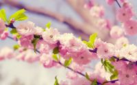 Cherry Blossoms, small