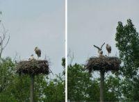 Vondelpark storks update #1: three thriving young ones :-)))